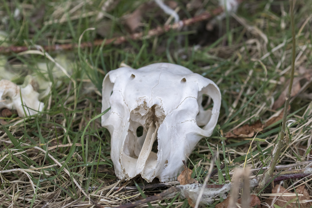 Sheep Skull 28th Feb.jpg