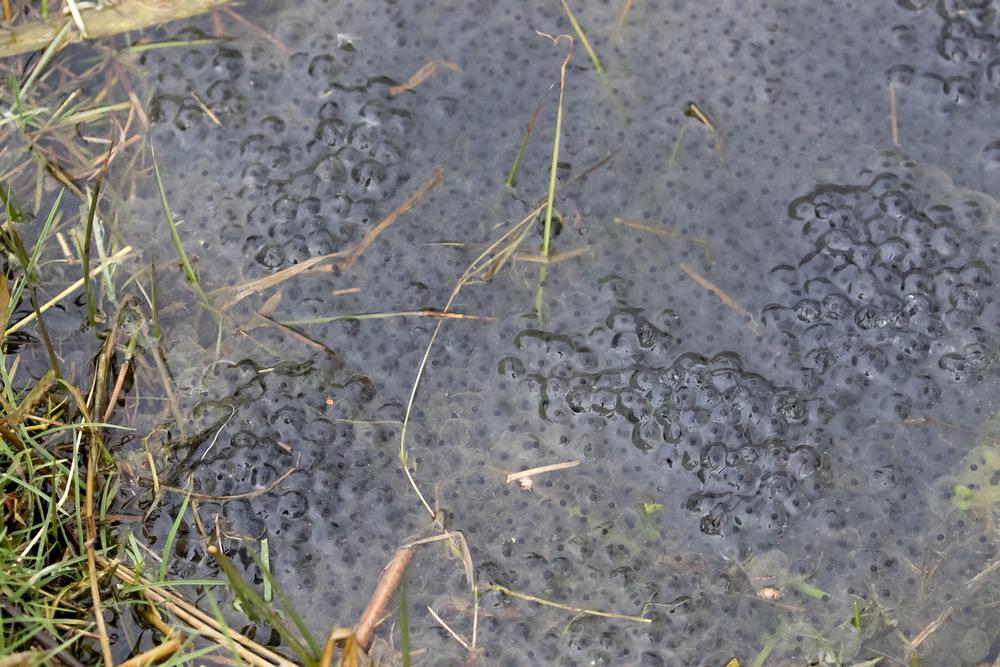 Frog Spawn 1 28th Feb Llandegfedd.jpg