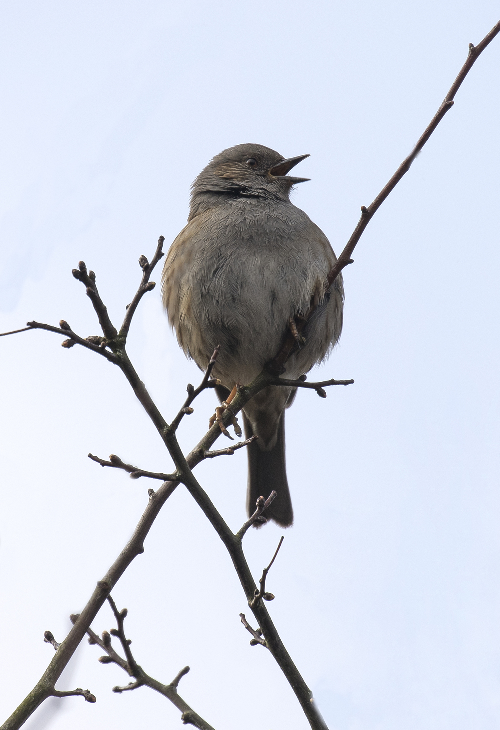 Dunnock 19th March.jpg