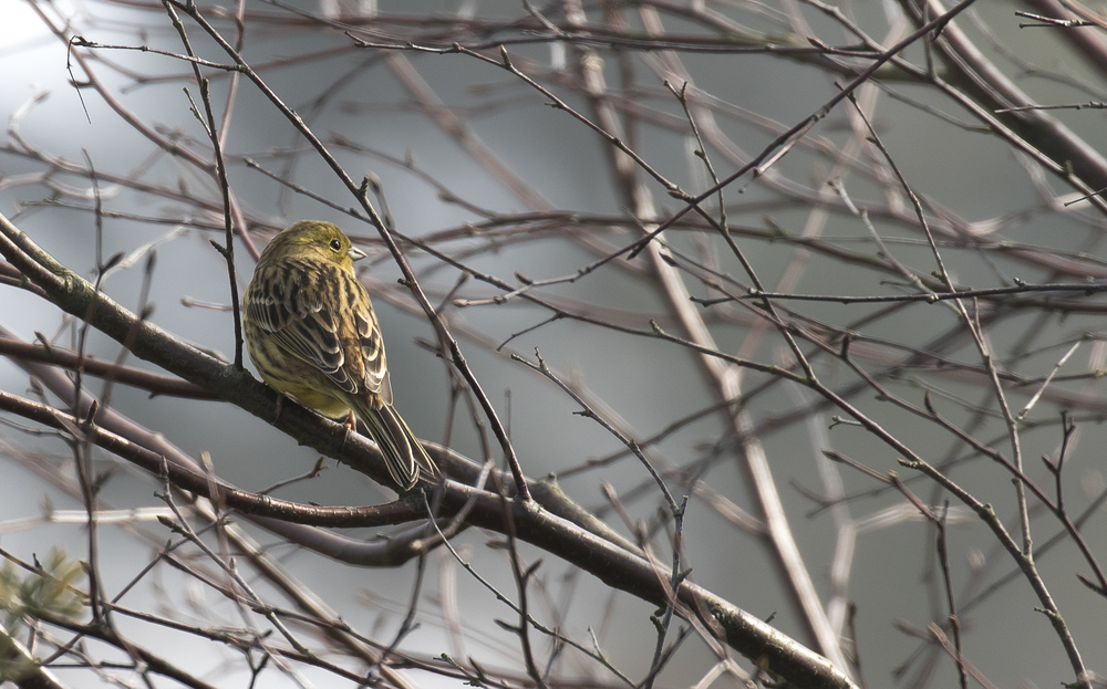 Female Yellowhamer 19th March.jpg