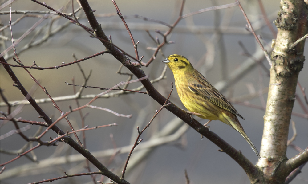 Yellowhammer Male 19th March.jpg