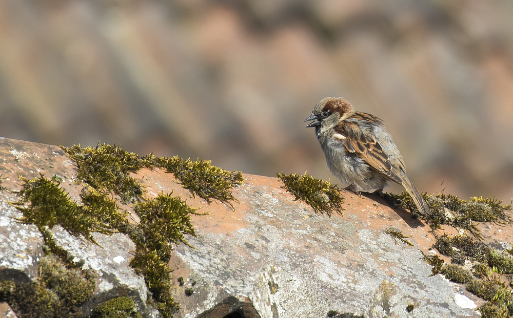 House Sparrow 20th March.jpg