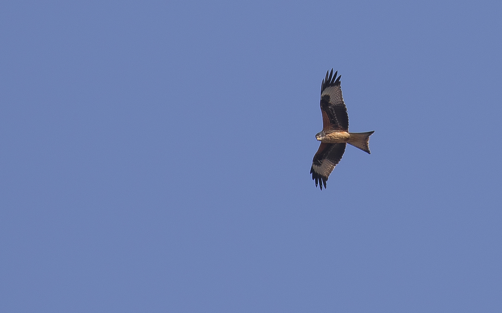 Redkite 20th March.jpg