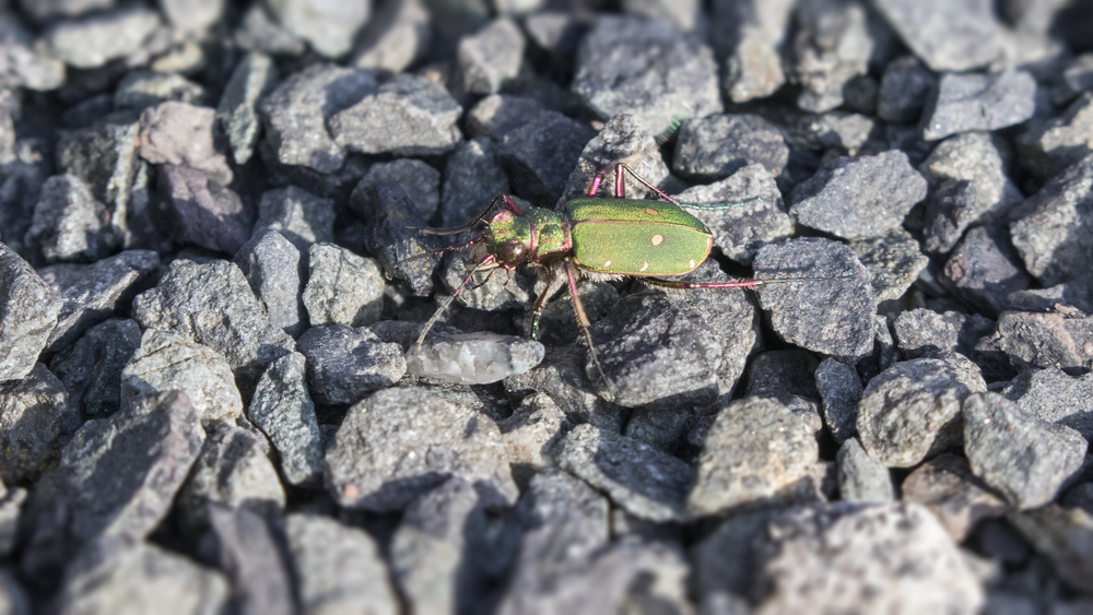 Green Tiger Beetle! 22nd March.jpg