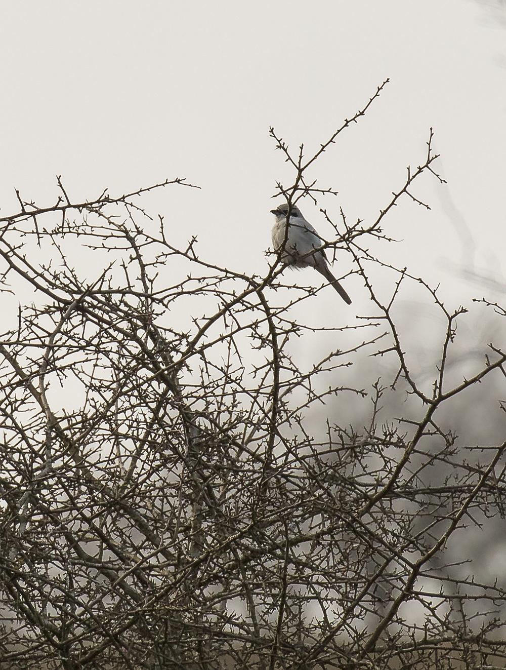 Great Grey Shrike 27th March.jpg