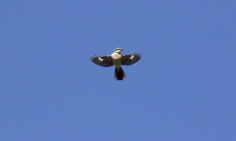 Great Grey Shrike Flight.jpg
