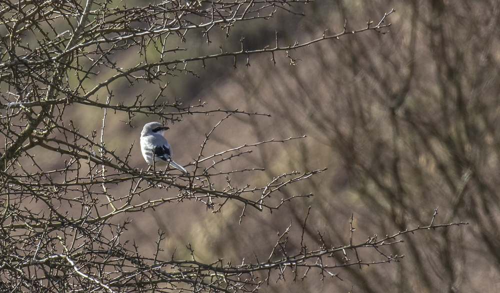 Great Grey Shrike Perched 26th March.jpg