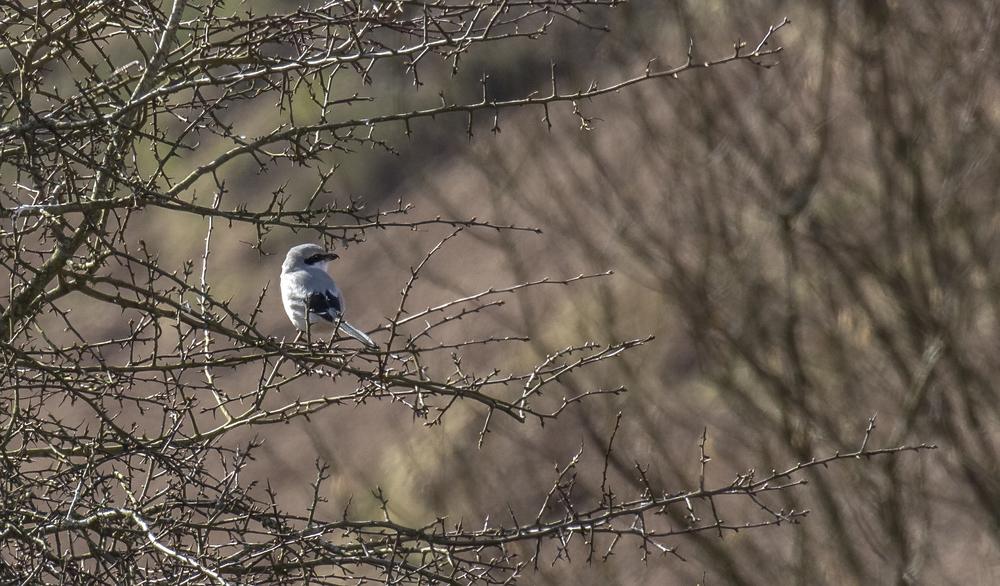 Great Grey Shrike Perched 26th March.jpg