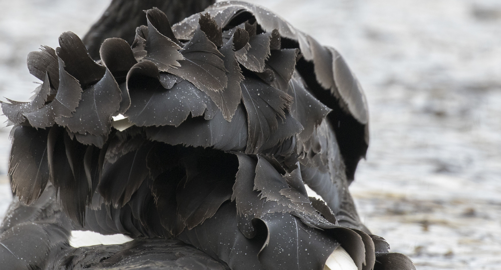 Black Swan Feathers 1st April.jpg