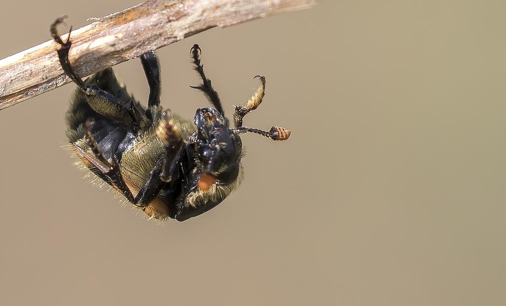 Burying Beetle Hanging 4th April.jpg