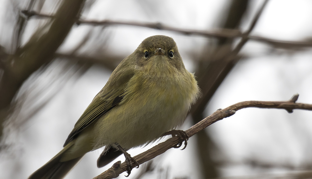 Chiffchaff Angry 3rd April.jpg