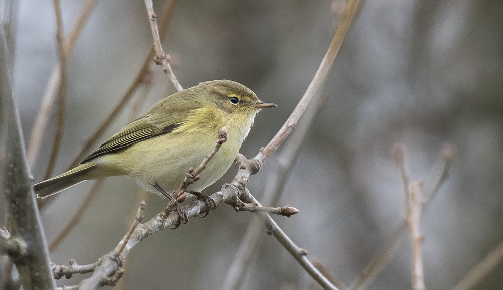 Chiffchaff 3rd April.jpg
