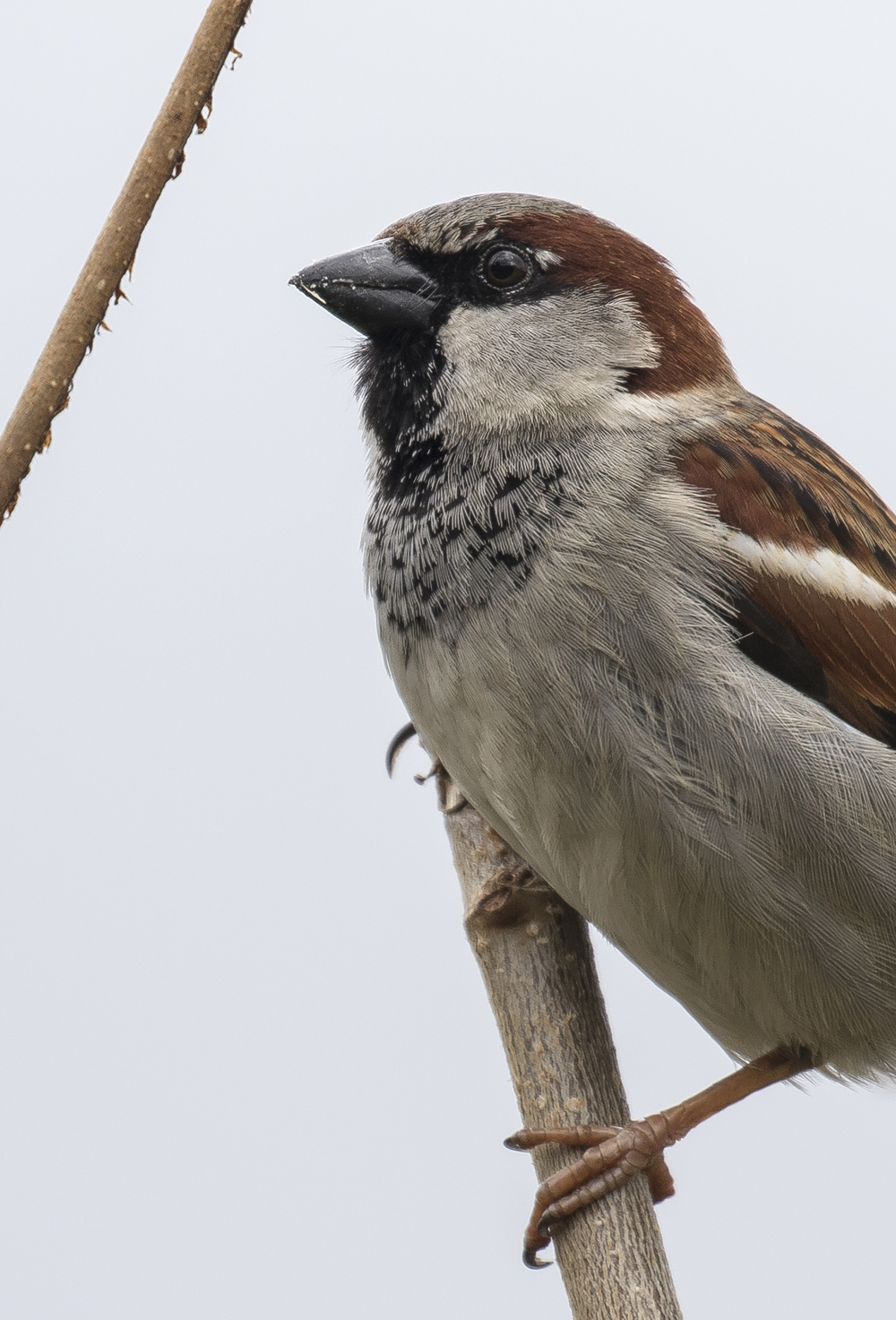 Male House Sparrow Portrait.jpg