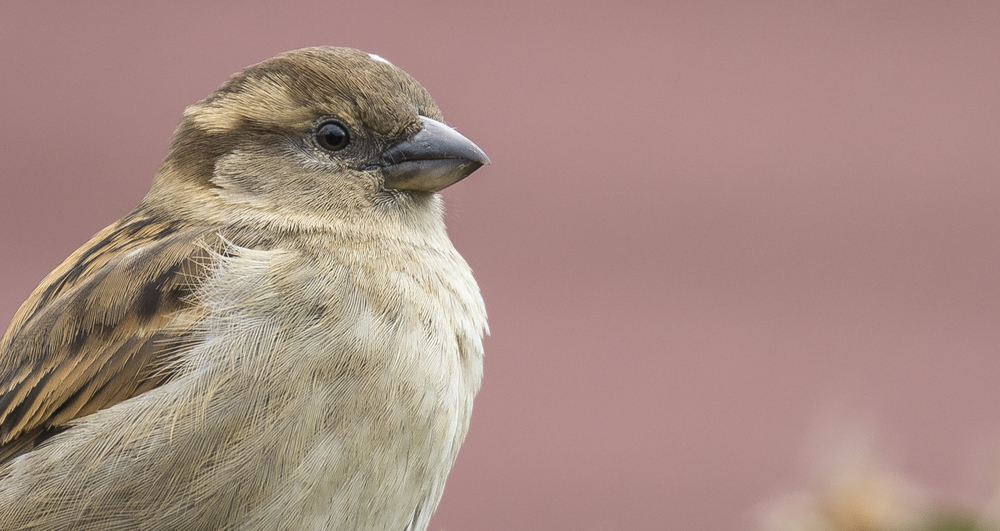 Female House Sparrow.jpg