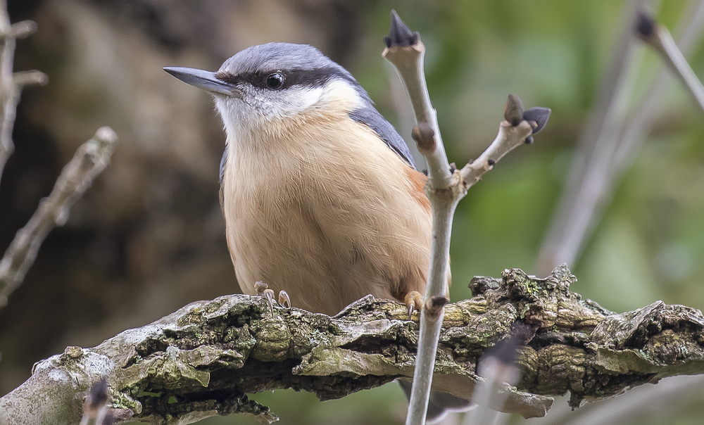 Nuthatch Pose 3rd April.jpg
