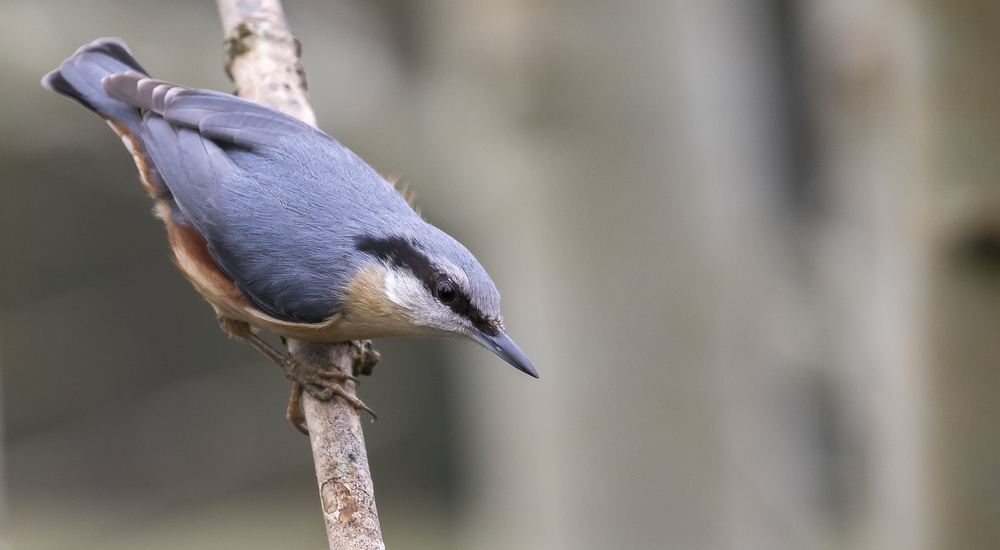 Nuthatch Left 3rd April.jpg