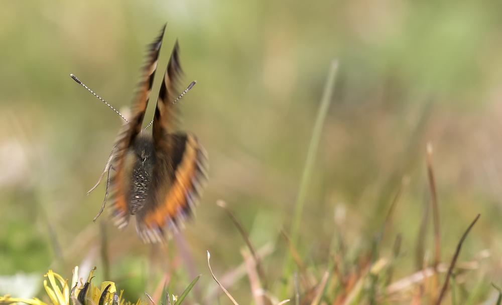 Small Tortoiseshell Butterfly Dance .jpg