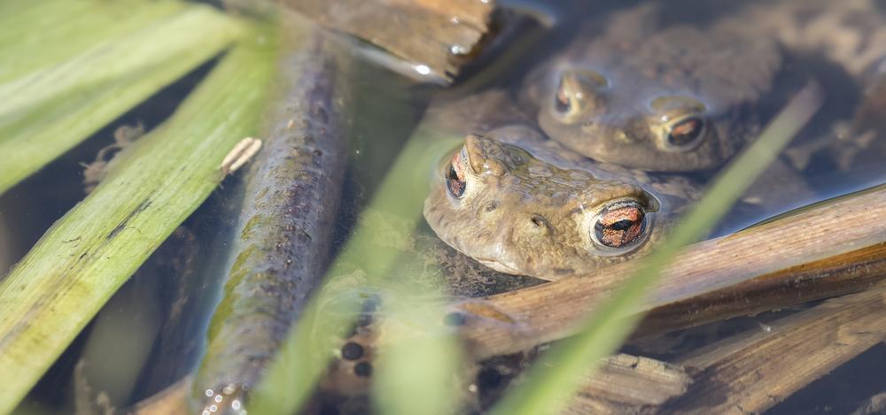 Toad Pair 5th April.jpg