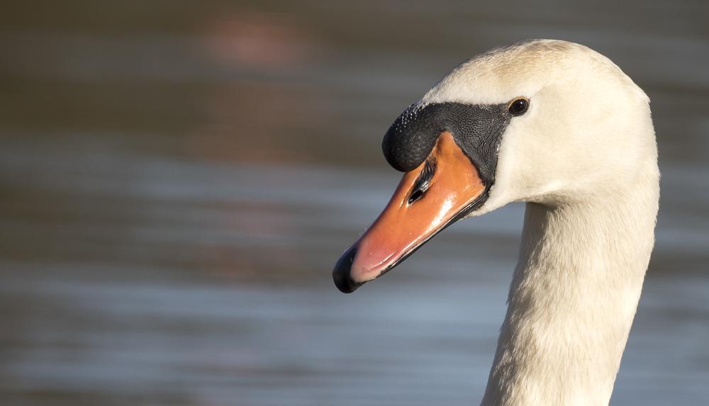 Mute Swan Head 6th April.jpg