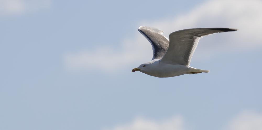 Black-backed Gull 6th April.jpg