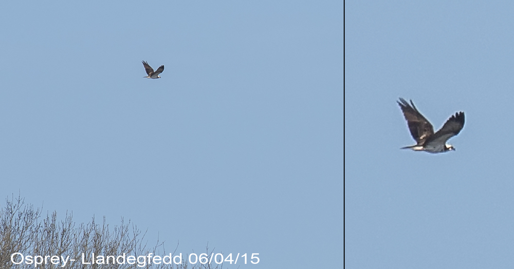 Osprey Distant Llandegfedd 6th April .jpg