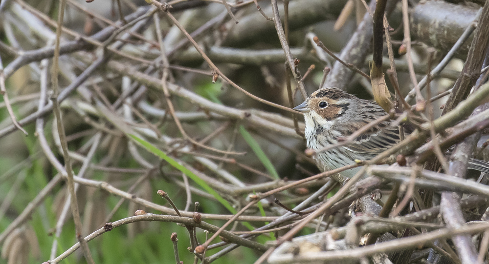 Little Bunting 5th April.jpg