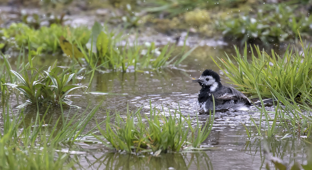 Pied Wagtail Bathing 5th April.jpg