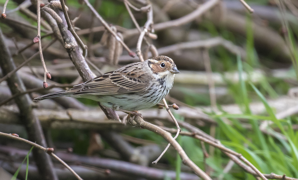 Little Bunting Perched 5th April.jpg