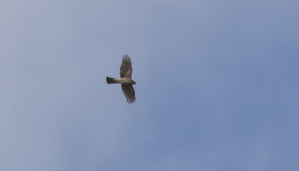 Sparrowhawk 5th April.jpg