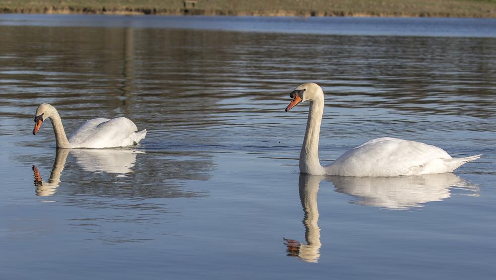 Mute Swans 6th April.jpg