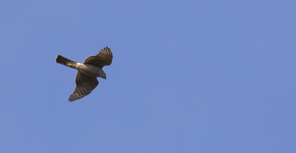 Sparrowhawk Best 11th April.jpg