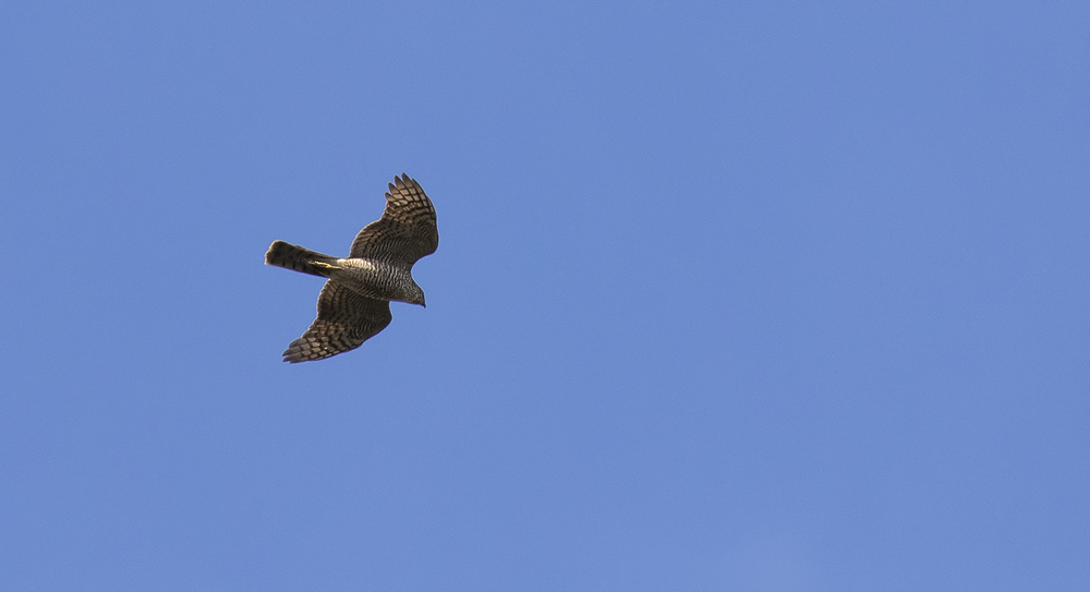 Sparrowhawk 11th April.jpg