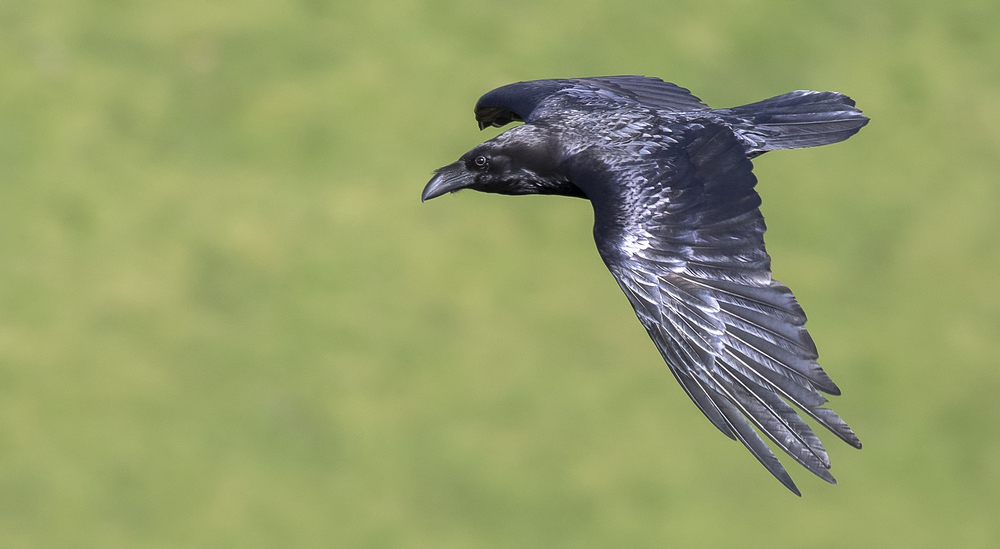 Raven Wing 11th April.jpg