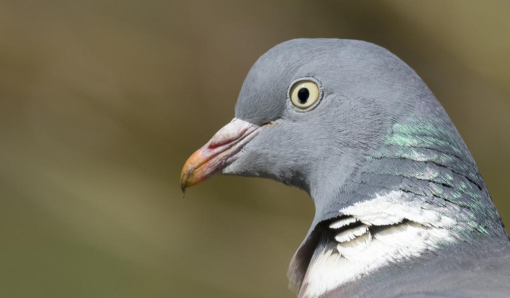 Wood Pigeon Crop 12th April.jpg
