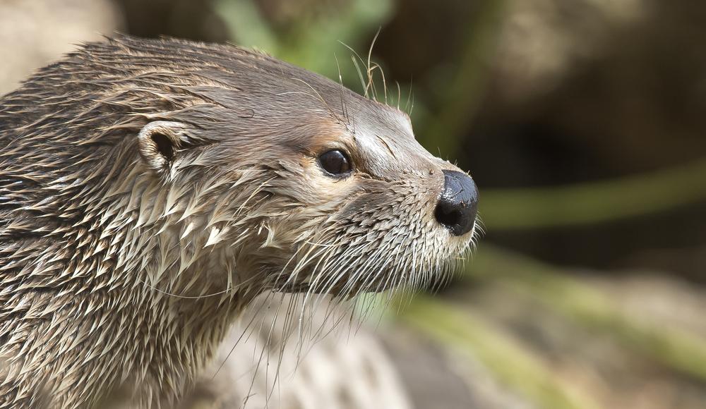 Otter Face 12th April.jpg