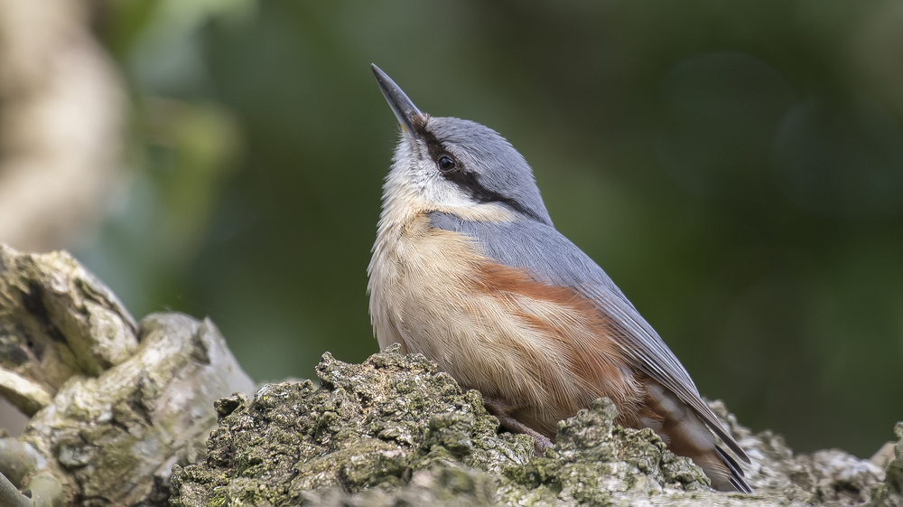 Sitting Nuthatch 17th April.jpg