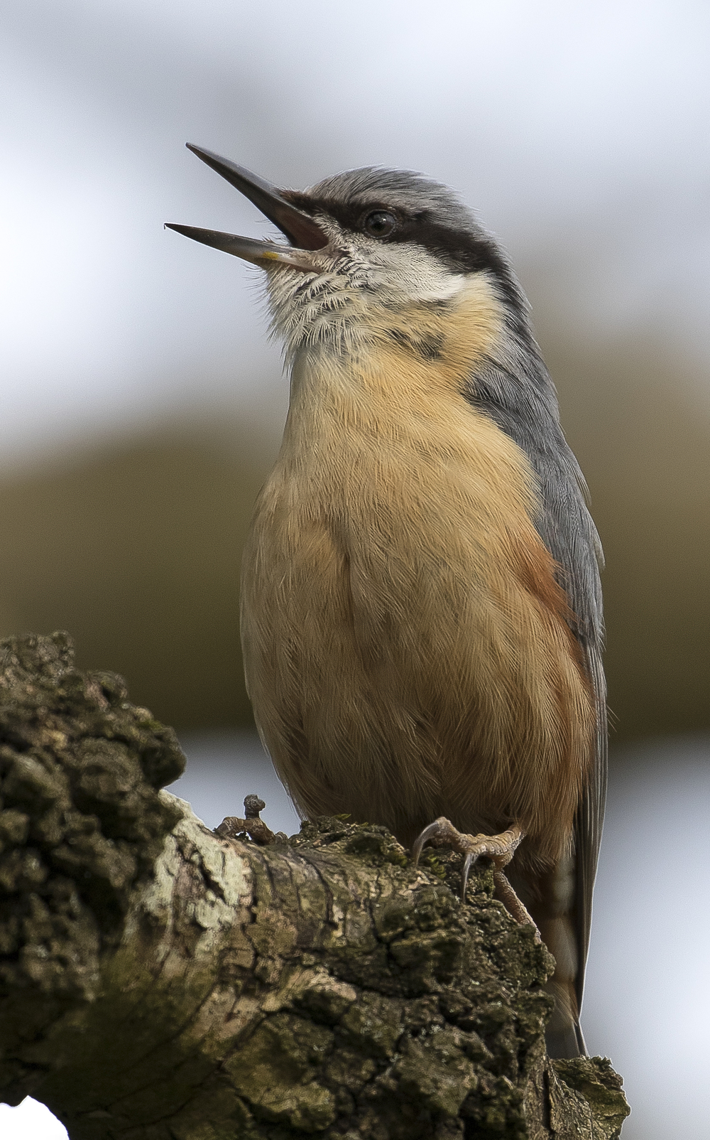 Nuthatch Singing Portrate 17th April.jpg