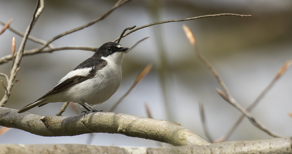 Male Pied Flycatcher Crop 17th April.jpg