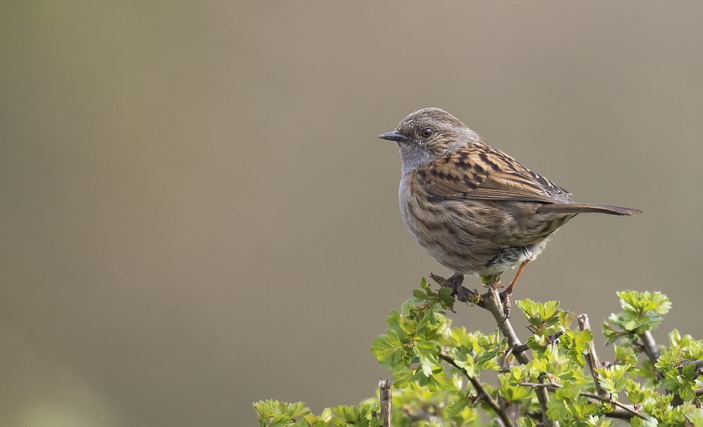 Dunnock 17th April.jpg