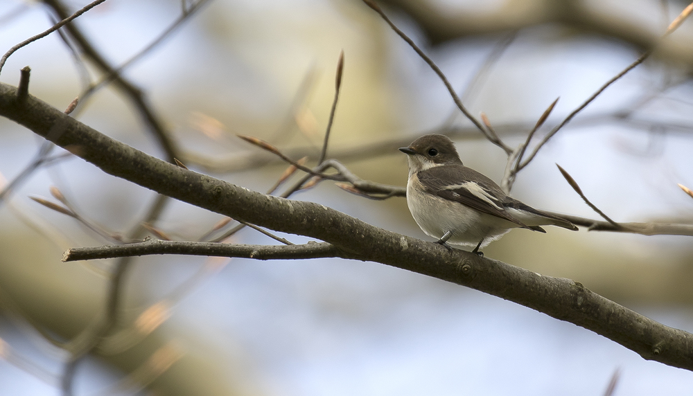 Female Pied Flycatcher 17th April.jpg