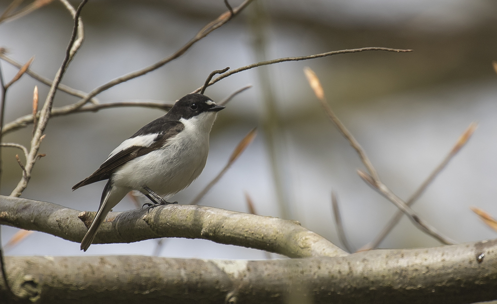 Male Pied Flycatcher 17th April.jpg
