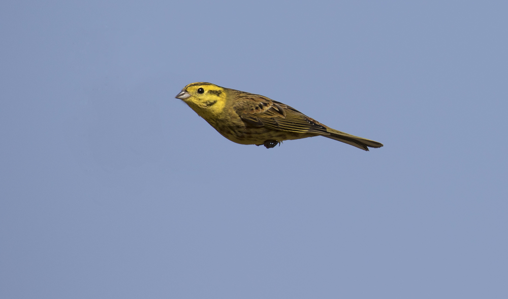 Yellowhammer Bullet 17th April.jpg