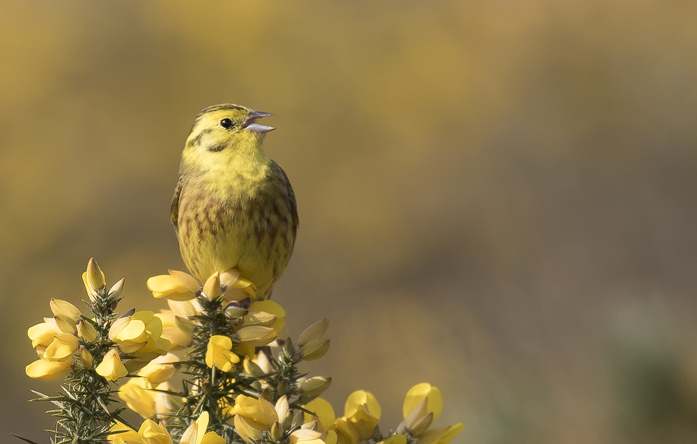 Yellowhammer Cropped Singing 17th April.jpg