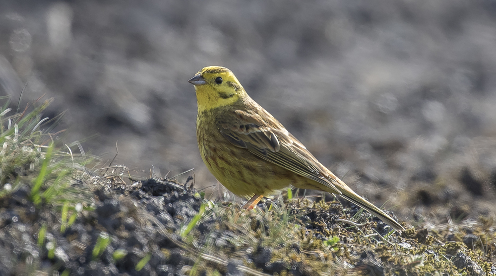 Yellowhammer on Deck 17th April.jpg