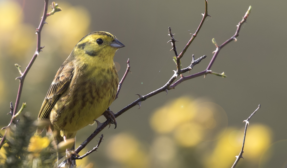 Yellowhammer Crop 17th April.jpg