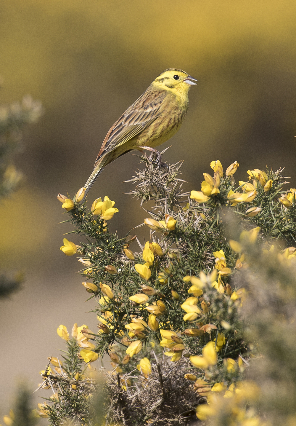 Yellowhammer Singing Portrate 17th April.jpg