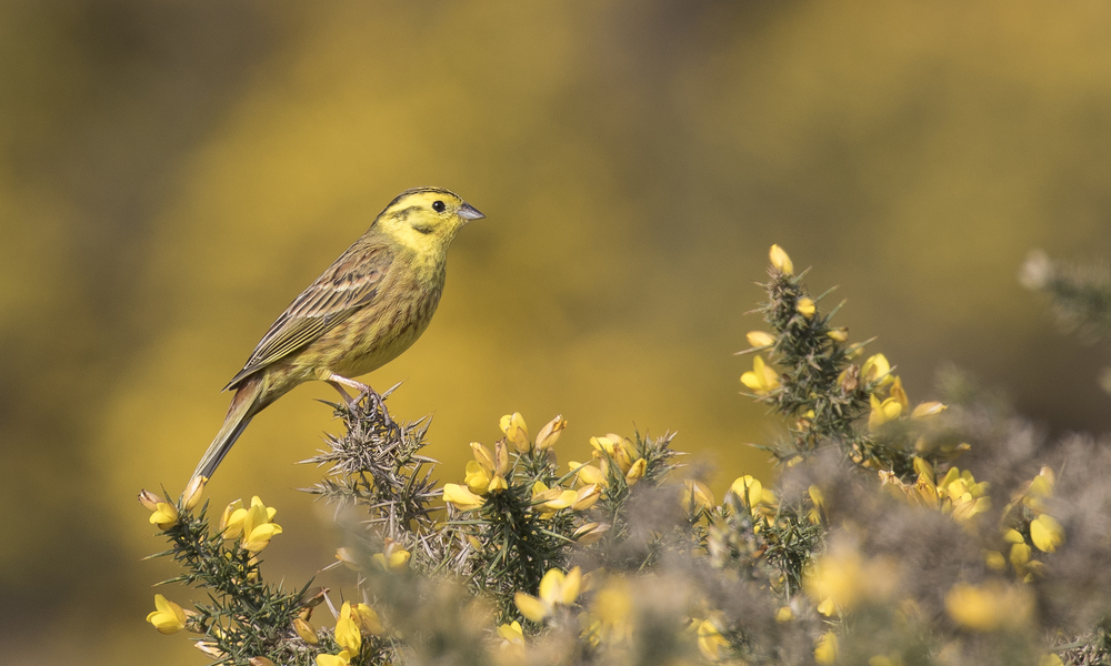 Yellowhammer Framed 17th April.jpg