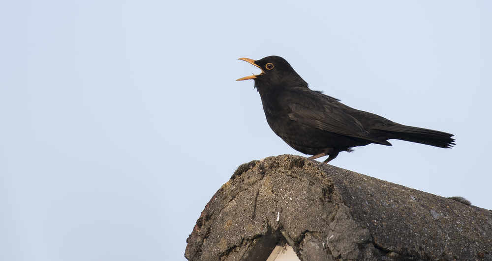 Blackbird Singing Roof 21st April.jpg
