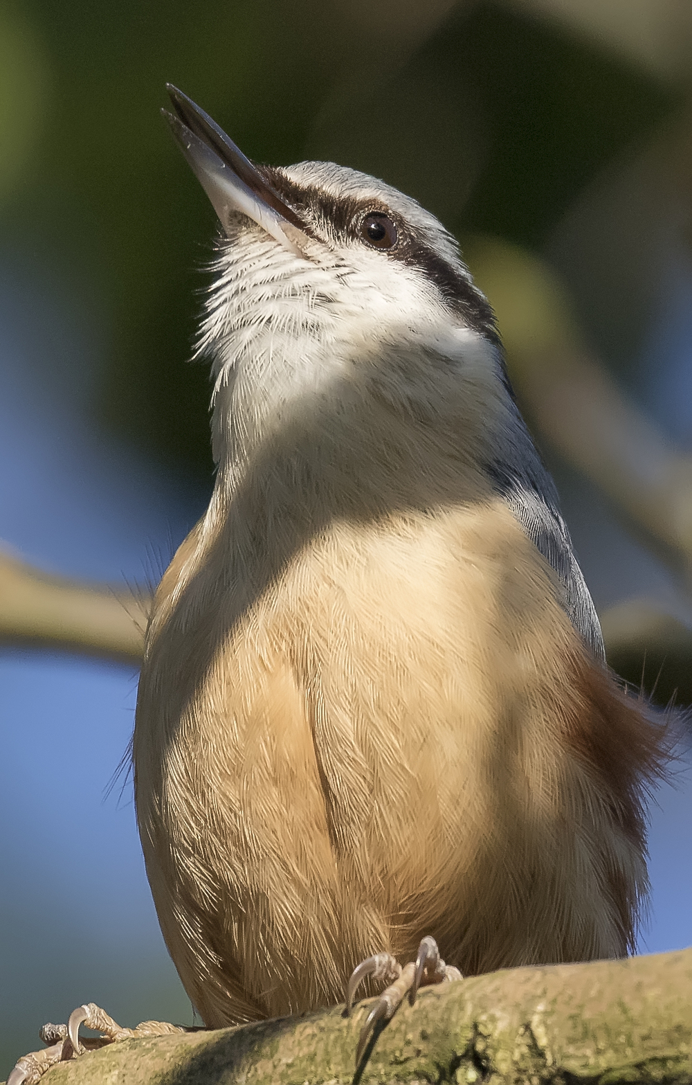 Nuthatch Singing 21st April.jpg