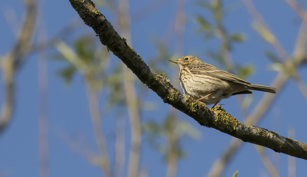 Meadow Pipit 21st April.jpg